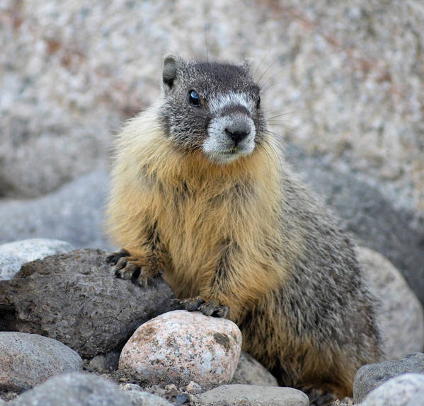 Marmot Art Print featuring the photograph Hoary Marmot by Linda Rich