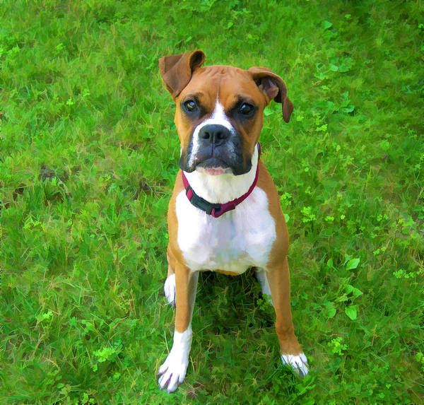 Boxer Art Print featuring the photograph The Boxer by Donna Doherty