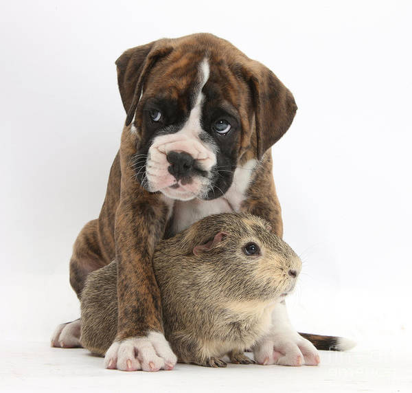Nature Print featuring the photograph Boxer Puppy And Guinea Pig by Mark Taylor