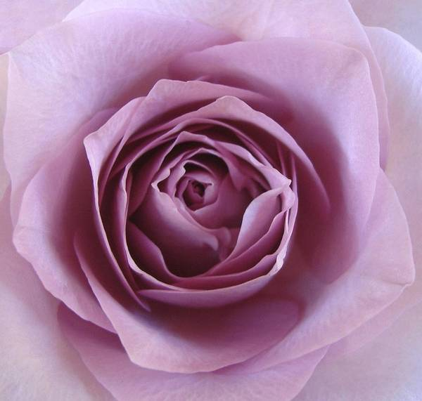 Lavender Art Print featuring the photograph Lavender Of Rose by Jacqueline Migell