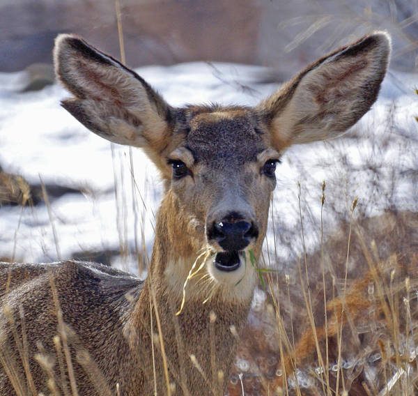 Doe Art Print featuring the photograph Doe by Heather Coen