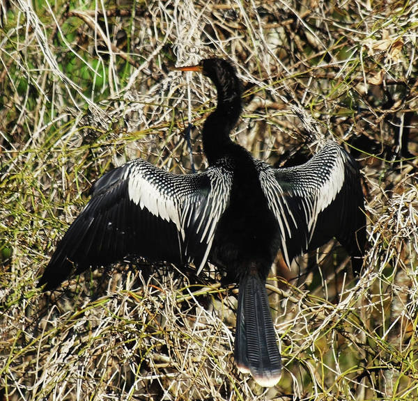 Anhinga Art Print featuring the photograph Drying In The Sun by Diane Luke