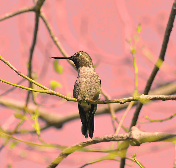 Bird Art Print featuring the photograph Hummingbird On A Branch by Clarence Alford