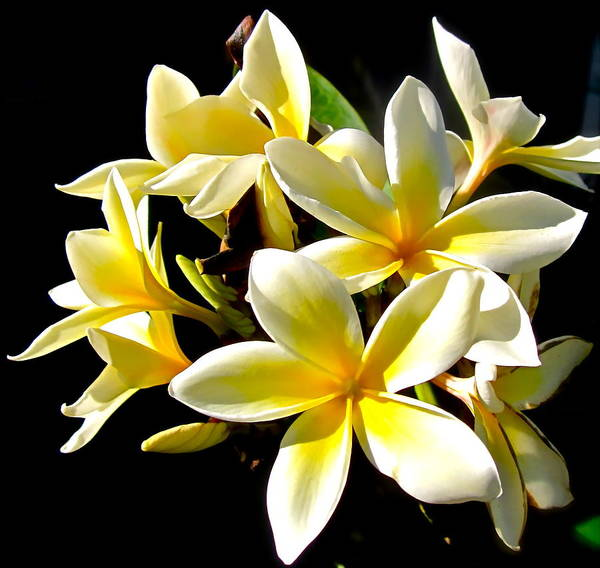 Photograph Of Plumeria Art Print featuring the photograph Plumeria Proper by Gwyn Newcombe