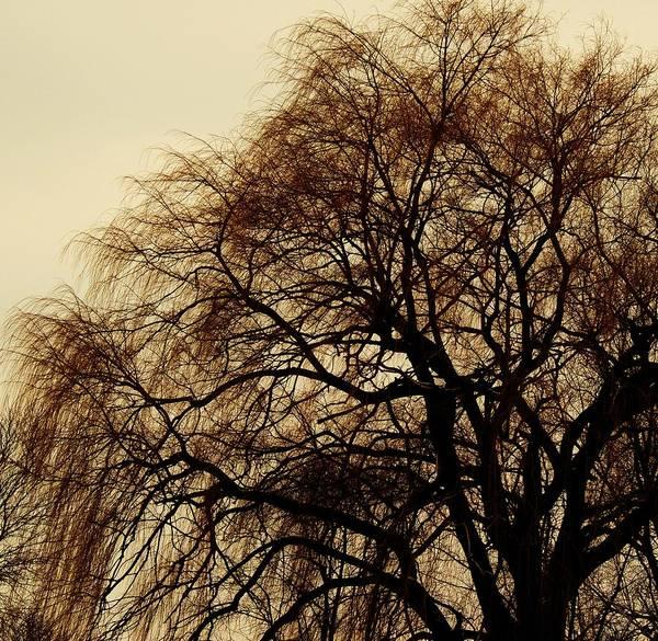 Beautiful Winter Willow Tree  Yellow Art Print featuring the photograph Burlington Willow by Todd Sherlock