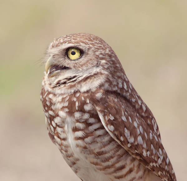 Wildlife Art Print featuring the photograph Burrowing Owl by Kim Hojnacki