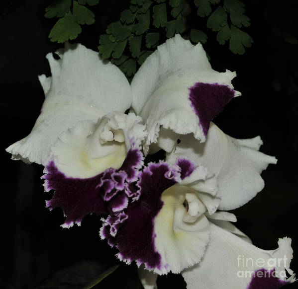 Orchid Art Print featuring the photograph Cattleya Moscombe 'the King' 3 Of 3 by Terri Winkler