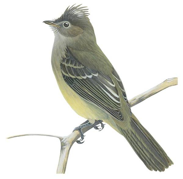 No People; Horizontal; Full Length; White Background; One Animal; Animal Themes; Illustration And Painting; Yellow-bellied Elaenia; Elaenia Flavogaster; Branch; Perching; Bird Art Print featuring the drawing Yellow Bellied Elaenia by Anonymous