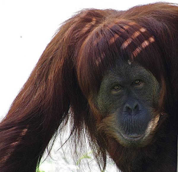 Orangutan Art Print featuring the photograph Auburn Bangs by Jenny Gandert