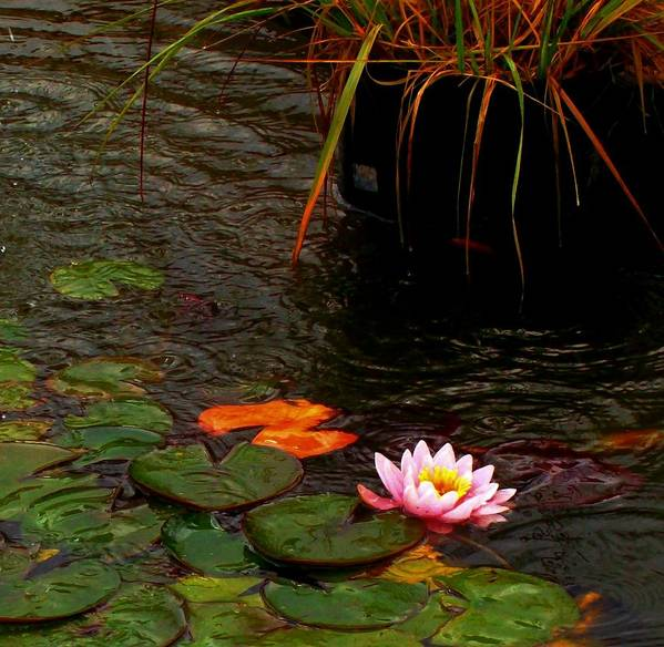 Lotus Art Print featuring the photograph Waterlily In The Rain 2 by Cj Carroll