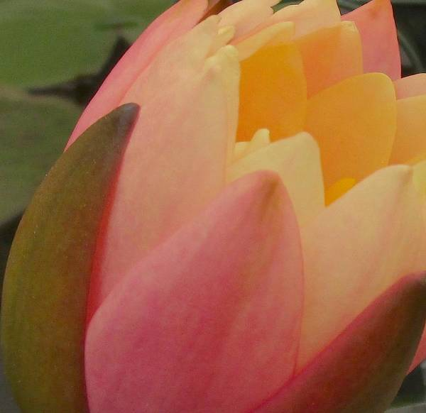 Art Print featuring the photograph Beautiful Unfolding by Sharon Ackley