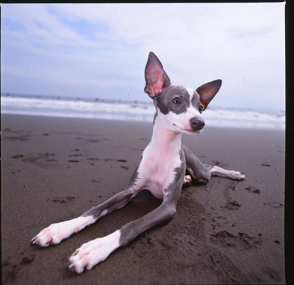 Dog Art Print featuring the photograph Italian Grey Hound On Beach by Cica Oyama