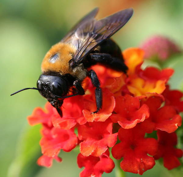 Bee Art Print featuring the photograph The Collector by Jason Hochman