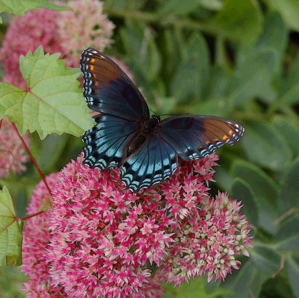 Blue Art Print featuring the photograph Blue Butterfly by Suzanne Gaff