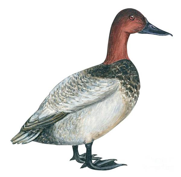 No People; Square Image; Side View; Full Length; White Background; One Animal; Wildlife; Close Up; Zoology; Illustration And Painting; Bird; Beak; Feather; Web; Animal Pattern; Canvasback Duck; Aythya Valisineria Art Print featuring the drawing Canvasback Duck by Anonymous
