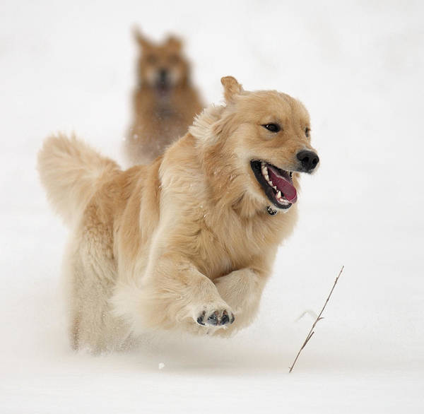 Golden Retrievers Art Print featuring the photograph Catch Me If You Can by Vic Harris