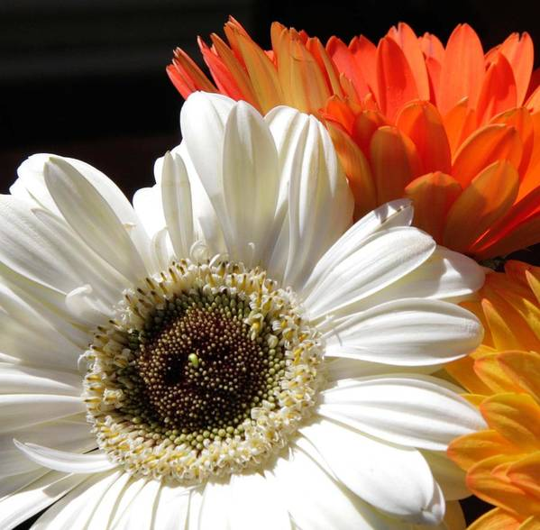 Gerber Daisy Art Print featuring the photograph Gerber Trio by Natalie Rotman Cote