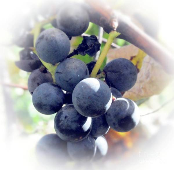 Grapes Art Print featuring the photograph Grapes On The Vine by Kathleen Struckle