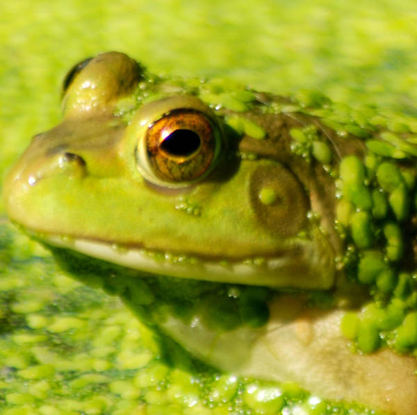 Green Algae Art Print featuring the photograph Profiling Frog by Optical Playground By MP Ray