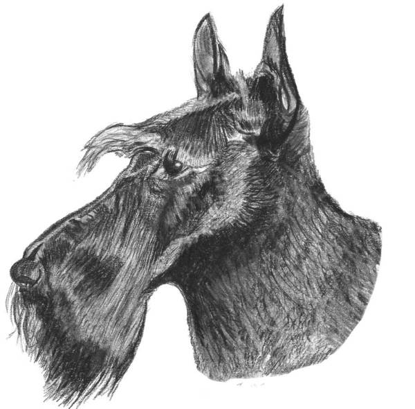 Scottie Dog Art Print featuring the drawing Scottish Terrier Dog by Catherine Roberts