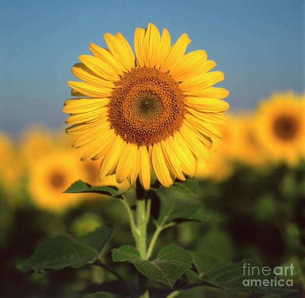 Auvergne Puy De Dome France Agricultural Agriculture Crop Cultivate Cultivation Rural Countryside Sunflower Field Plant Oil Yellow Flowers Close Up Summer Vertical Art Print featuring the photograph Sunflower by Bernard Jaubert