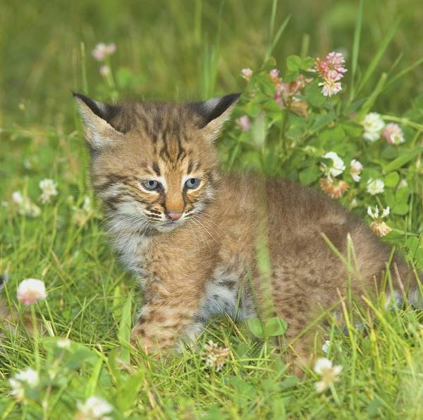 Outdoors Art Print featuring the photograph Bobcat Kitten by John Pitcher
