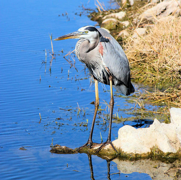 Great Blue Heron Art Print featuring the photograph Great Blue Heron Resting by Suzie Banks