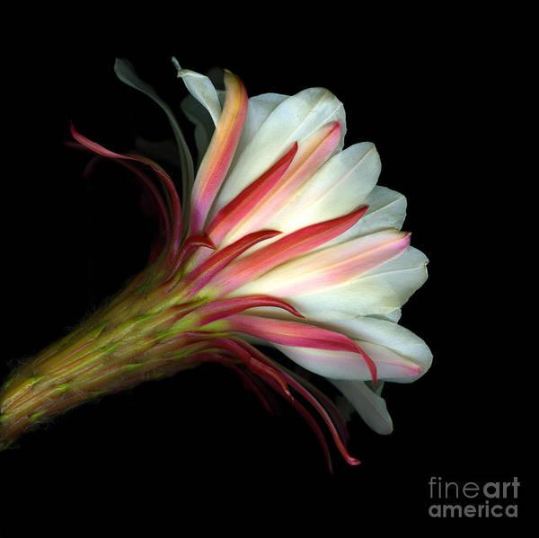 Scanart Art Print featuring the photograph Cactus Flower by Christian Slanec