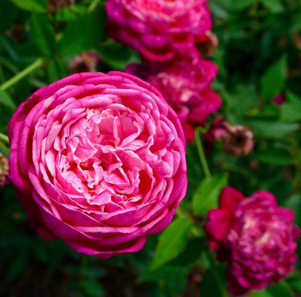Rose Art Print featuring the photograph Purple Opening by Bennett Thompson
