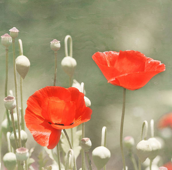 Red Flower Art Print featuring the photograph Red Poppies by Kim Hojnacki