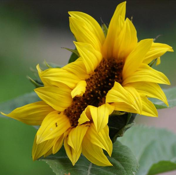 Sunflower Art Print featuring the photograph Sunflower by Liz Vernand