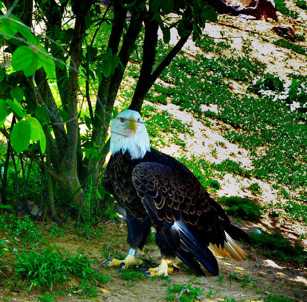 Eagle Art Print featuring the photograph The Eagle Has Landed by Bill Cannon