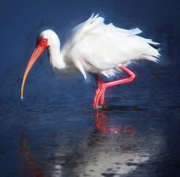 Ibis Art Print featuring the photograph Wading by Claudia Daniels