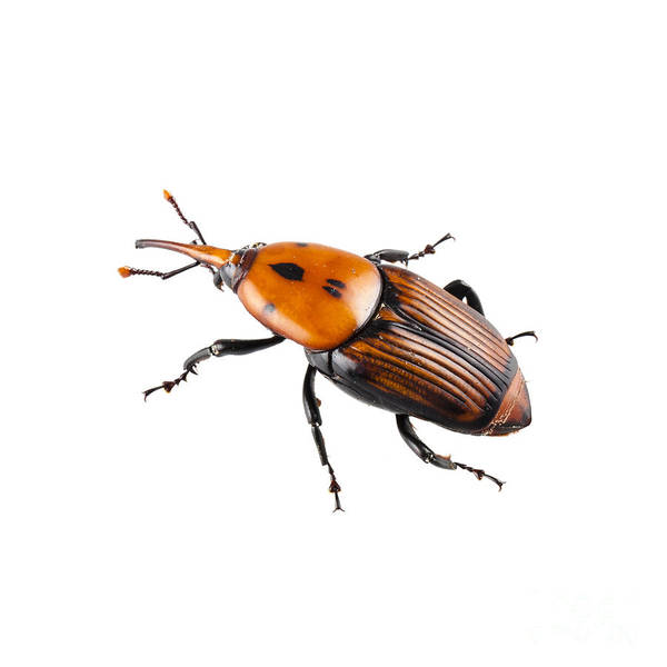 Animal Art Print featuring the photograph Red Palm Weevil by Pablo Romero