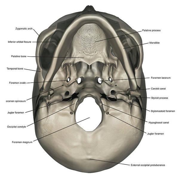 Inferior View Of Human Skull Anatomy Art Print By Alayna Guza