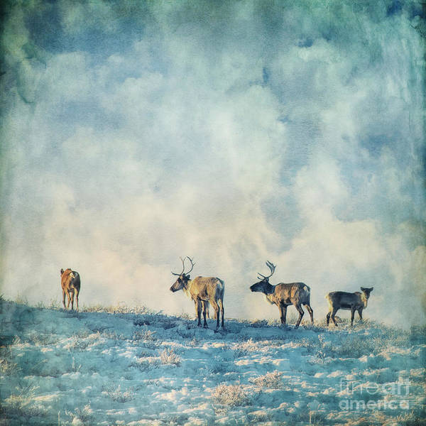 Caribou Art Print featuring the photograph Roam Free by Priska Wettstein