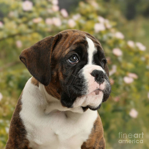 Nature Art Print featuring the photograph Boxer Puppy by Mark Taylor