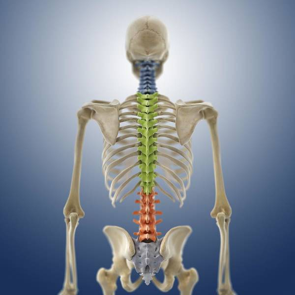 Bone Art Print featuring the photograph Human Skeleton, Artwork by Science Photo Library