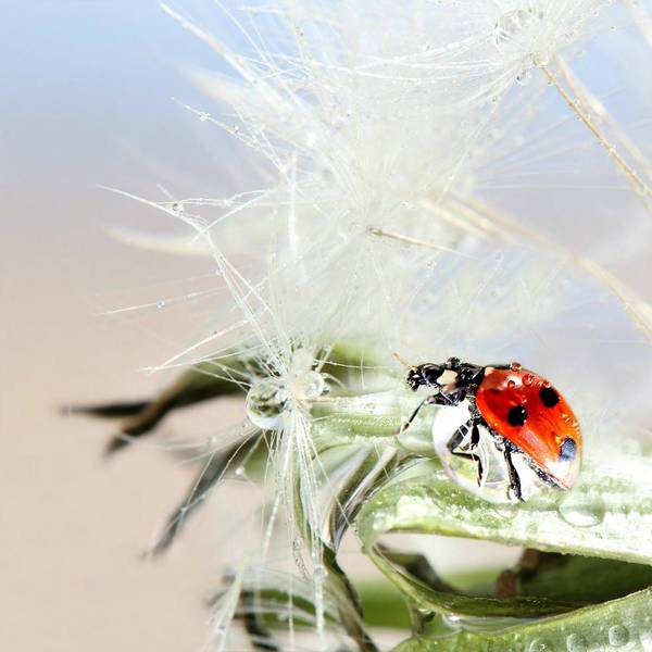 Drops Art Print featuring the photograph Ladybug by Heike Hultsch