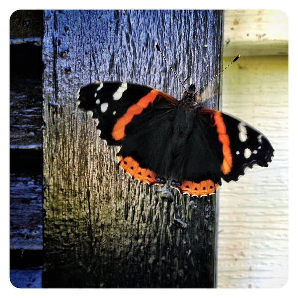 Butterfly Art Print featuring the photograph Phoenician Butterfly by Natasha Marco