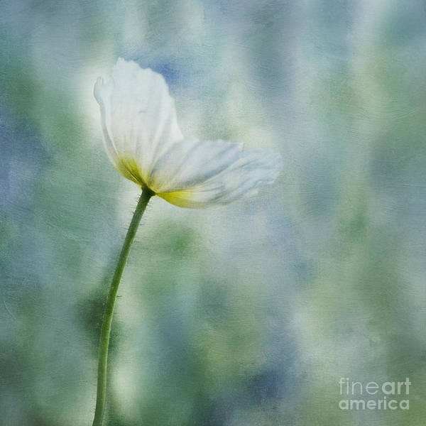Poppy Art Print featuring the photograph A Vision Of Delight by Priska Wettstein