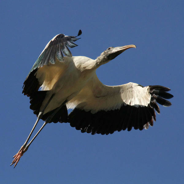 Wood Stork Art Print featuring the photograph Airborne by Doris Potter