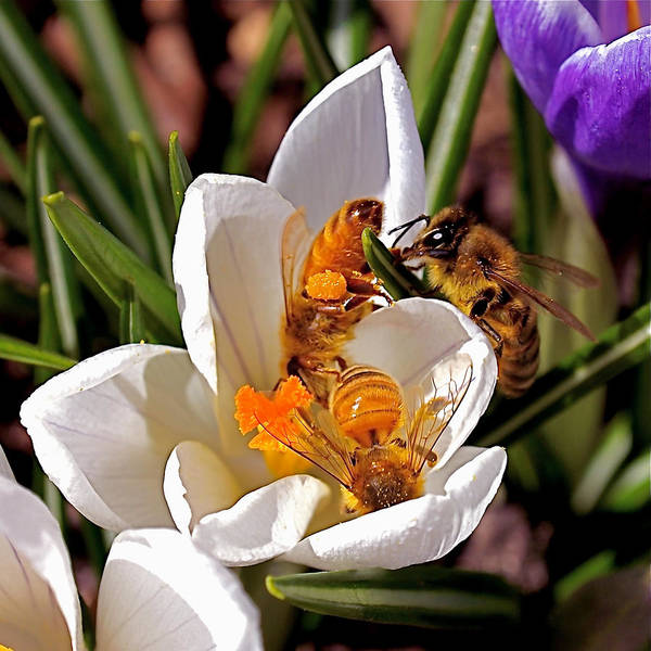 Bee Art Print featuring the photograph At Work by Rona Black