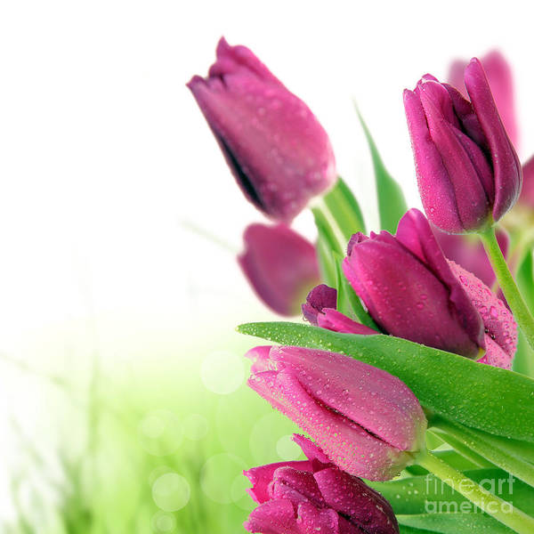 Beautiful Art Print featuring the photograph Beautiful Purple Tulips Flower by Boon Mee