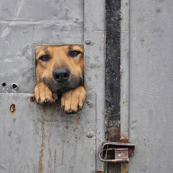 Dog Art Print featuring the photograph Benji\'s Window II by Knartist