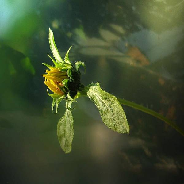 Art Print featuring the photograph Birth Of A Sunflower by Ilona Stefan