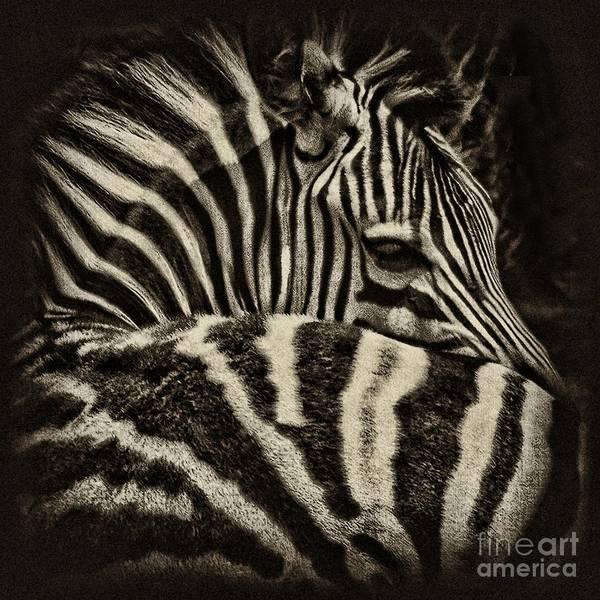 Zebra Art Print featuring the photograph Comfort by Andrew Paranavitana