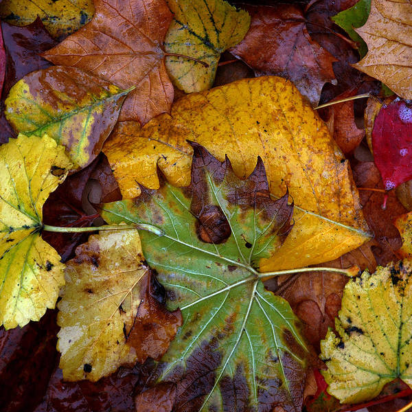 Fall Art Print featuring the photograph Fall Leaves 1 by Skip Willits