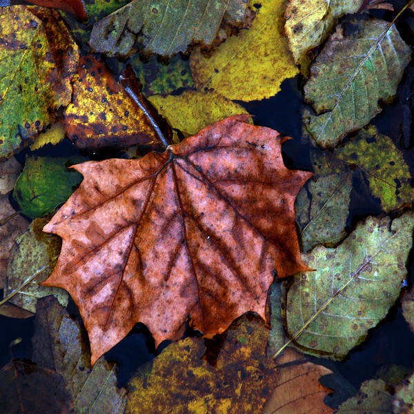 Fall Art Print featuring the photograph Fall Leaves 3 by Skip Willits