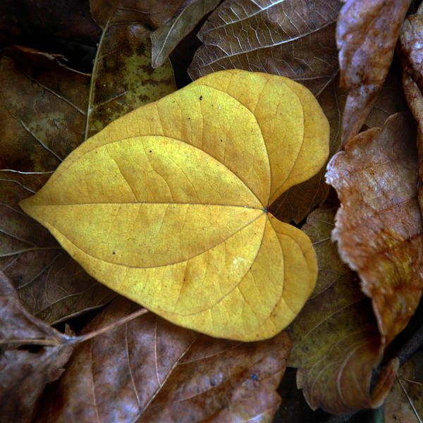 Fall Art Print featuring the photograph Fall Leaves 4 by Skip Willits